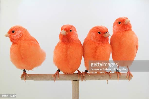 four red birds