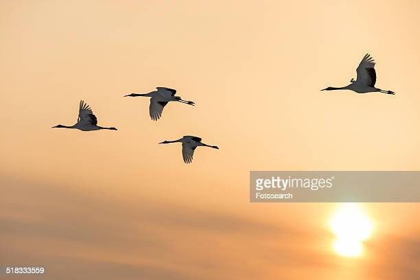 Four Red Crowned Cranes flying in sunset