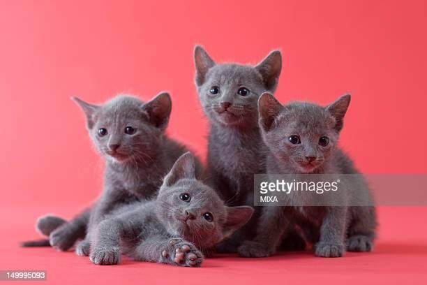 Four Russian Blue Kittens