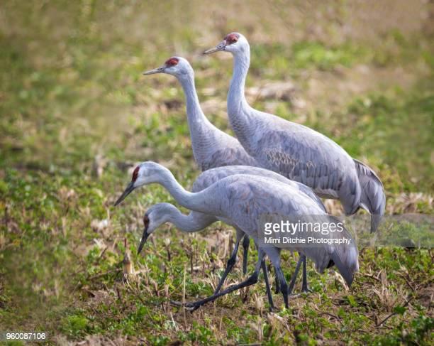 four sandhill cranes - マーセド郡 ストックフォトと画像