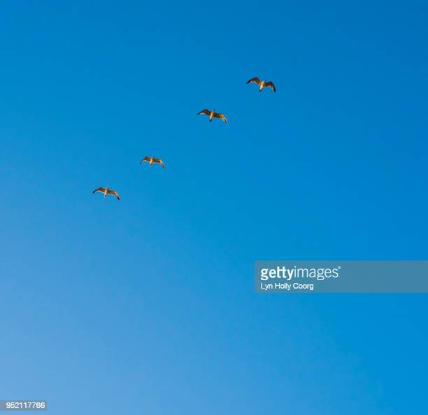 four seagulls flying in blue sky - lyn holly coorg stock photos and pictures