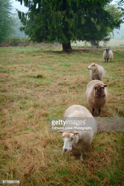 Four Sheep in a Farm Pasture