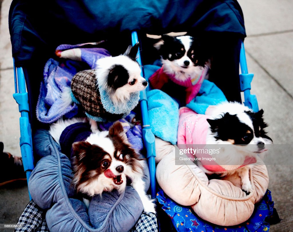 Four Small Dogs in Baby Strollers, Chicago, Illinois, USA : Stock Photo