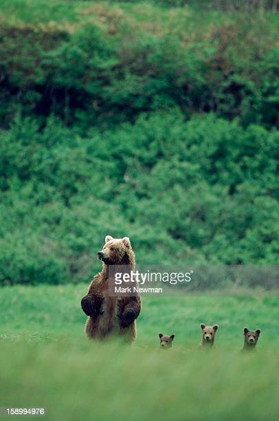Four Standing Grizzly Bears