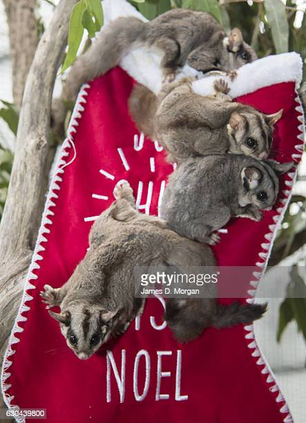 Four Sugar Glider's called Candy Popcorn Titch and Penny seeking out their favourite food nectar which was dripped onto a Christmas stocking at Wild...