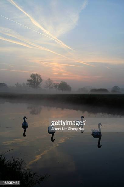 four swans swiming in the lake river at dawn - nee nee stock photos and pictures