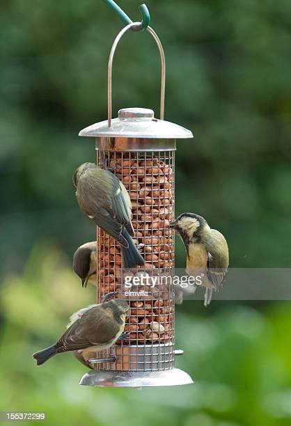 Four Tits at garden feeder