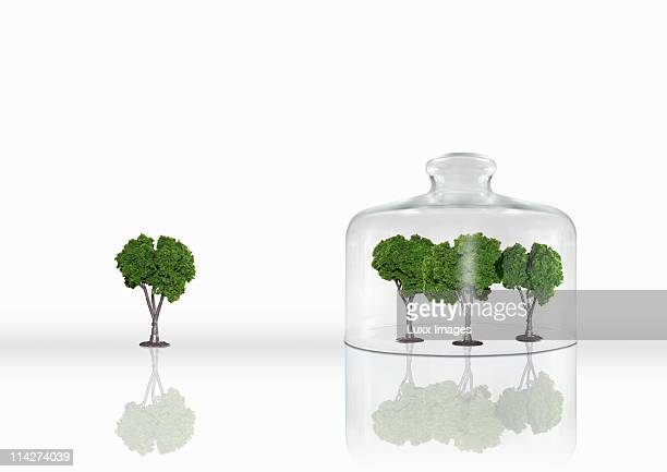 Four trees with three trees under a cloche