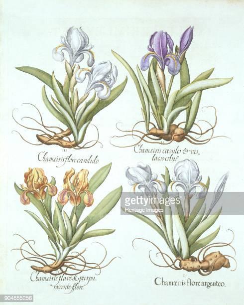 Four varieties of rhizomatous irises, from 'Hortus Eystettensis', by Basil Besler pub. I Chameiris flore argenteo; II Chameiris coeruleo & vio laceo...