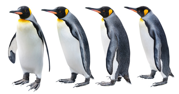 Four views of the King penguin 136521266