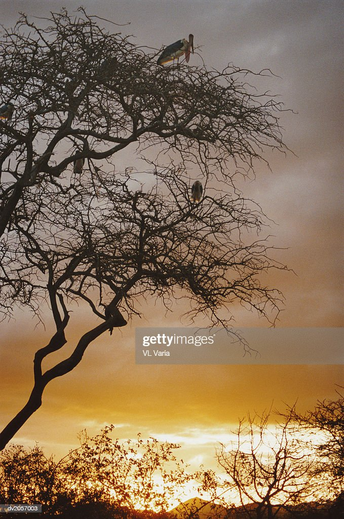 Four Vultures in a Tree : Stock Photo