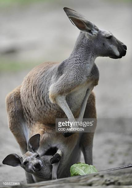 Four week old Giant Red Kangaroo baby looks at a leaf of salad from it's mother's pouch at the Zoo in Berlin, August 10, 2010. Giant Red Kangaroos is...