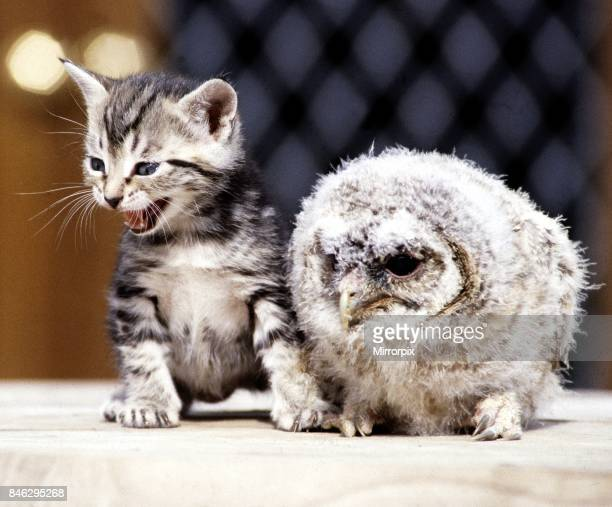 Four week old kitten with a baby tawny owl at Surrey Bird Rescue Centre at Chertsey June 1983