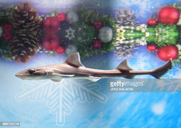 A four week old silky shark swims in front of christmas decoration in the 'children' fish tank of the aquarium Aquadom and Sea Life in Berlin on...