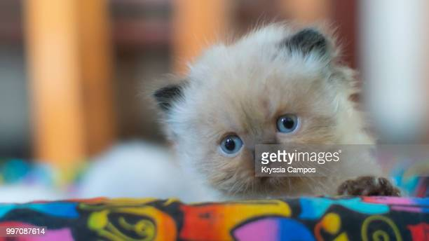 Four Weeks Himalayan Kitten