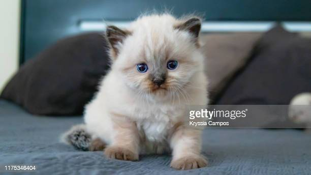 four weeks old kitten posing on a bed - kitten stock pictures, royalty-free photos & images