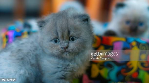 Four Weeks Persian Kitten
