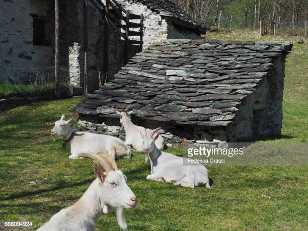 Four White Goats On Alpine Pasture in the Pennine Alps