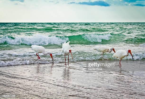 Four White Ibis birds