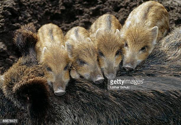 four wild boar (sus scrofa) piglets resting on their mother - wildschwein stock-fotos und bilder