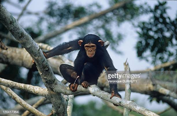 Four Years Old Baby Chimpanzee ConkouatiDouli National Park In Congo