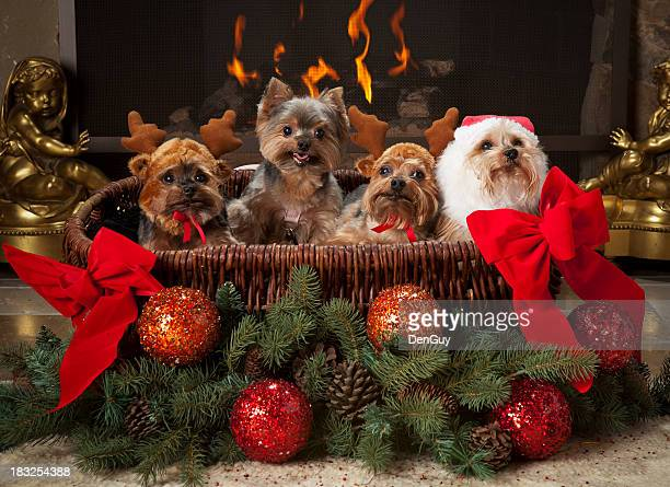 Four Yorkies in Basket Decorated for Christmas Season