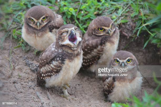 Four young owls