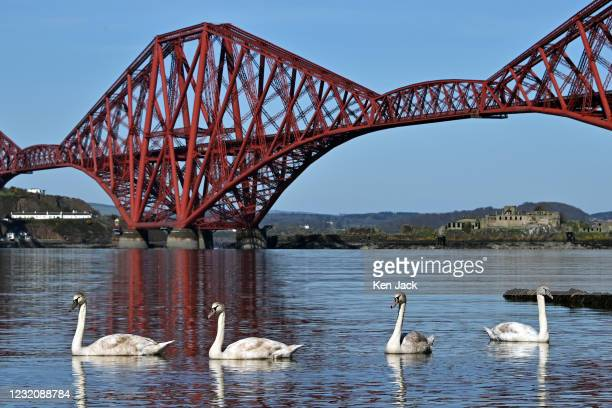 Four young swans swim along the shoreline in front of the Forth Bridge as much of Scotland enjoys fine weather at the start of the Easter weekend, on...