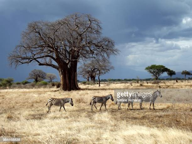 four zebra walking past a baobab tree during a storm in tanzania - tarangire national park stock pictures, royalty-free photos & images