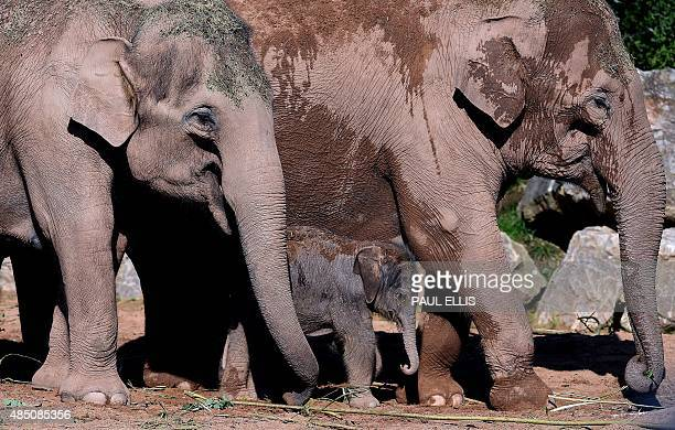 A fourday old female Asian elephant called Nandita and her mother Thi Hi Way are pictured in the enclosure at Chester Zoo in northwest England on...