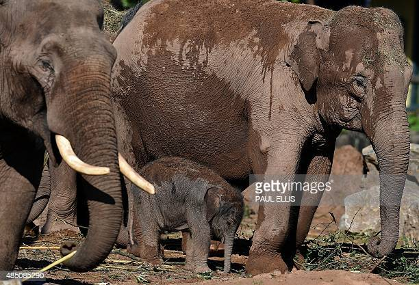 A fourday old female Asian elephant called Nandita her mother Thi Hi Way and father Aung Bo are pictured in the enclosure at Chester Zoo in northwest...