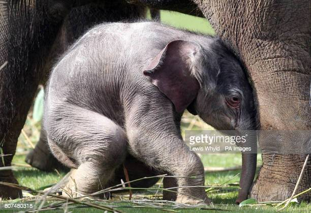 A fourdayold baby elephant yet to be named but staff have nicknamed him 'crooked' because of a bend in his tail with his mother Karishma at Whipsnade...