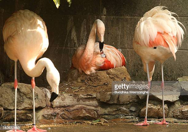 A fourdayold Chilean flamingo chick feed by its father named Migi Aka at the Himeji Central Park on October 2 2013 in Himeji Japan A baby flamingo...