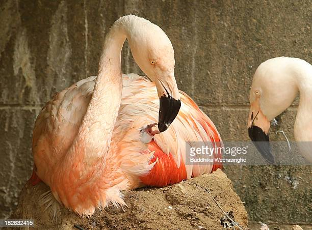 A fourdayold Chilean flamingo chick is fed by its father named Migi Aka at the Himeji Central Park on October 2 2013 in Himeji Japan The baby...