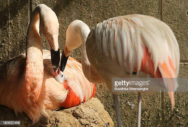 A fourdayold Chilean flamingo chick is fed by its father named Migi Aka and mother Hidari Aka at Himeji Central Park on October 2 2013 in Himeji...