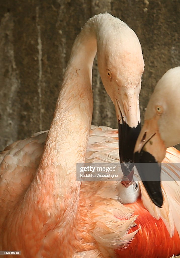 A four-day-old Chilean flamingo chick is fed by its father named Migi Aka(C) at the Himeji Central Park on October 2, 2013 in Himeji, Japan. The baby flamingo was born on September 29 and will take up to two or three years to fully develop the pink feathers of mature adults.