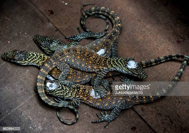 Fourdayold Komodo dradon babies are see in their cage in Surabaya zoo East Java province on March 17 2018 Komodo dragons are only found on Komodo...