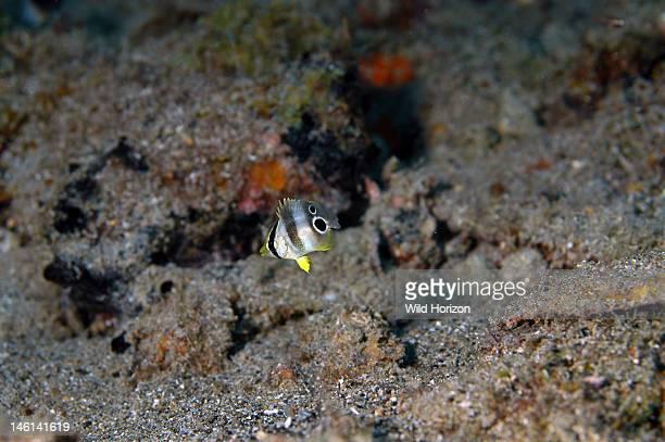 Foureye butterflyfish juvenile Chaetodon capistratus Approximately 1/2 inch long Curacao Netherlands Antilles Baya Bay under the pier Digital Photo