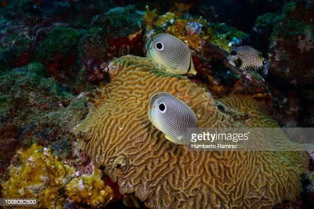 foureye butterflyfish. - brain coral foto e immagini stock