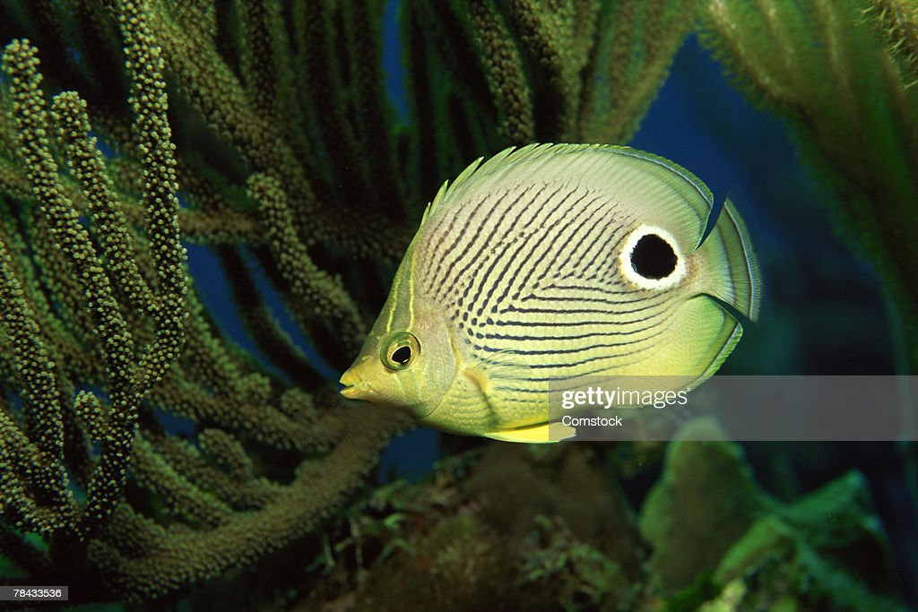Foureye butterflyfish : Stockfoto