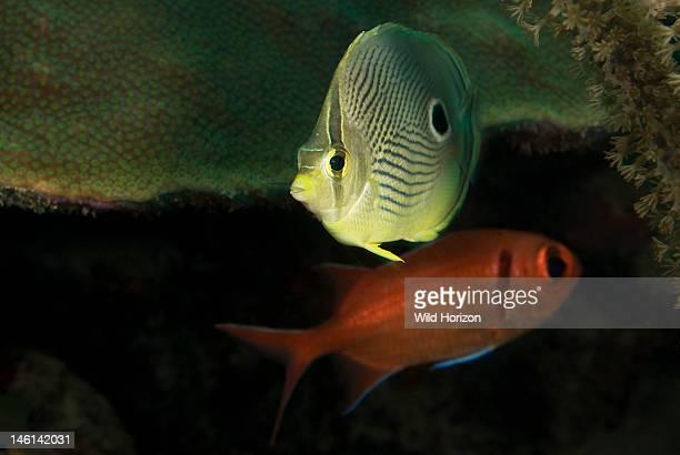 Foureye butterflyfish with blackbar soldierfish in background under coral ledge Chaetodon capistratus Myripristis jacobus Sea Aquarium Reef Curacao...