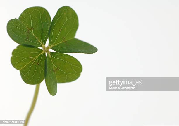 Four-leaf clover, close-up