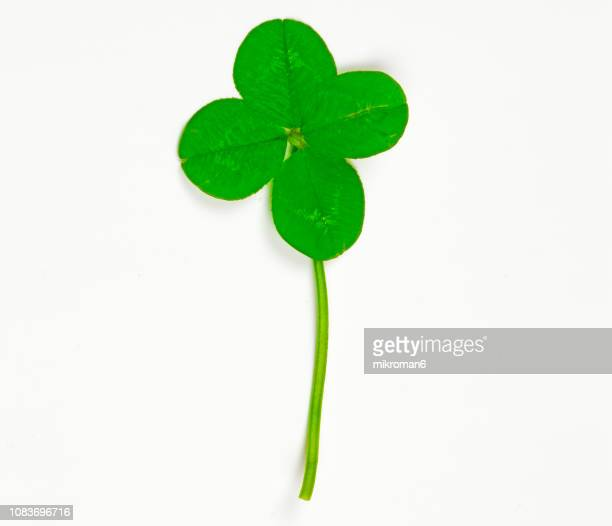 Four-Leaf Clover. Good Luck