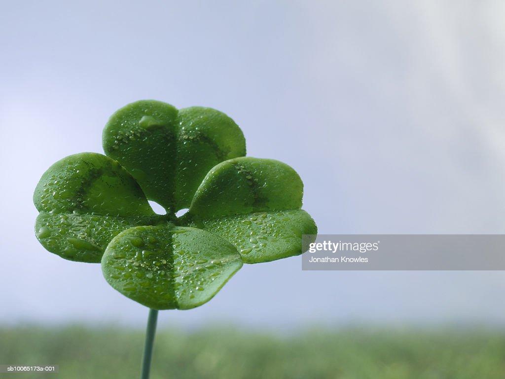 Four-leaf clover on field, close up : Bildbanksbilder