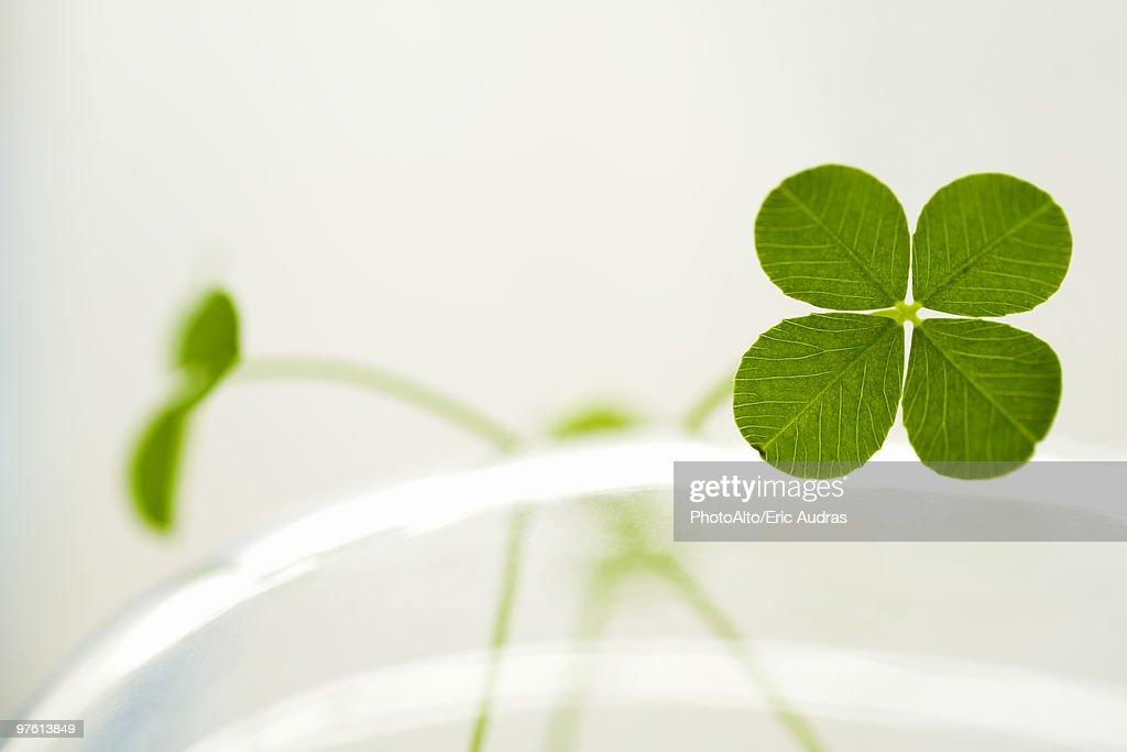 Four-leaf clover : Stock Photo