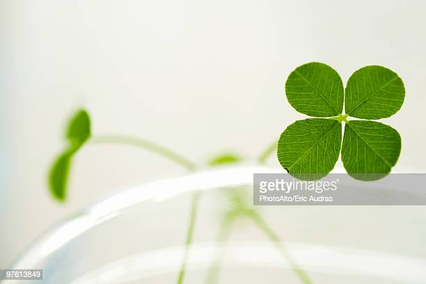 four-leaf clover - clover stock photos and pictures