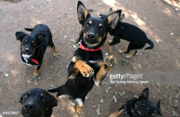 Four-month-old kelpie puppies play at the Winona Kelpie Stud near Gulgong, New South Wales, 13 July 2006. SMH Picture by PETER MORRIS