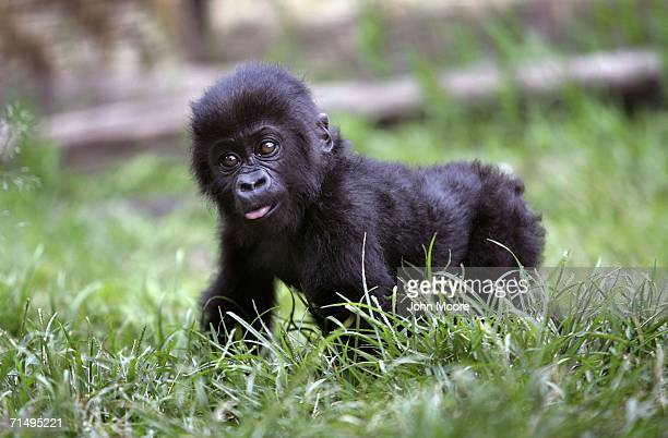 Fourmonthold lowland gorilla Tumaini learns to walk July 18 2006 at the Diane Fossey gorilla center in Goma in the eastern Democratic Republic of...