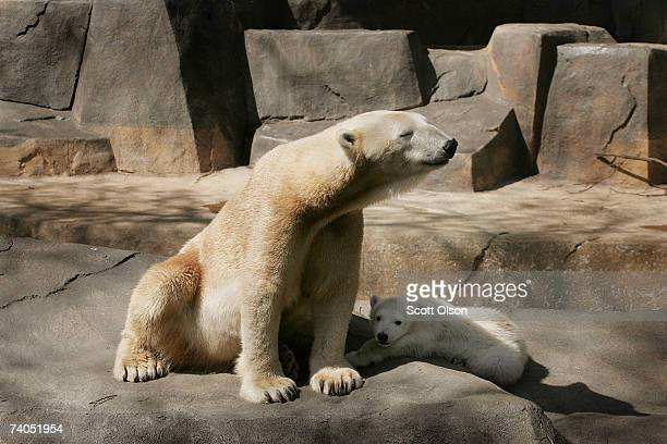 A fourmonthold polar bear cub relaxes next to his 22yearold mother Arki at suburban Chicago's Brookfield Zoo May 2 2007 in Brookfield Illinois The...
