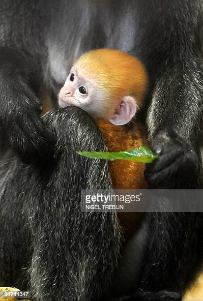 Fourmonthold 'Silvered Leaf Monkey' or 'Silvery Langur' baby Pan sits in the arms of his mother Amy on December 18 2009 at the zoo in Hanover...